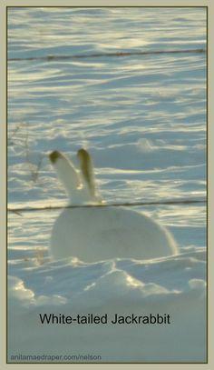 White-tailed Jackrabbit, Southeast Saskatchewan, March 2018. Credit: Nelson Draper Canadian Wildlife, Jack Rabbit, March, Blog, Photos, Painting, Image, Pictures, Painting Art