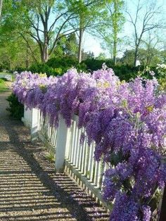 Wisteria along a fence instead of a trellis or arbor.  Creative and stunning!