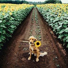 #cranimals #sunflowers #goldensofig #retrieversofinstagram #summer #wishfulthinking Floral #meditationspace