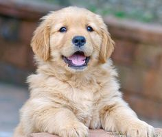 Golden #Retriever #puppy