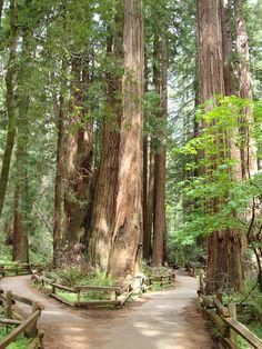 John Muir Woods, California