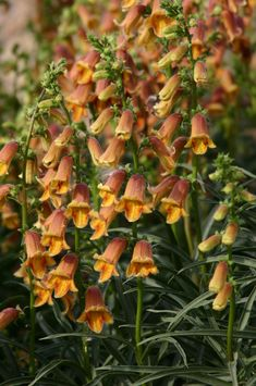 Sunset Foxglove, Digitalis obscura  moderate to dry water use orange, summer-fall, sun/part sun perennial hybrid