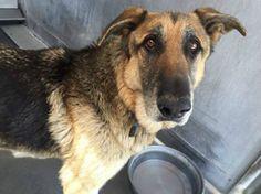 #Urgent  Help Duke Please!   Homeless family forced to surrender their loyal senior German shepherd