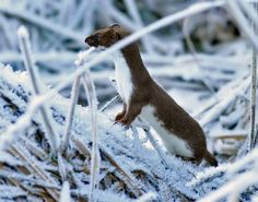 Stoat (Mustela erminea), also known as the short-tailed weasel, Photographer: Jan Larsson Black Footed Ferret, Giant Rabbit, Woodland Creatures, Paladin, Nice View, Wildlife, Animals, Amazing, Giant Bunny