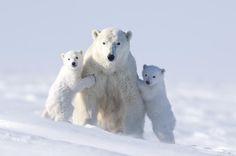 Polar Bear family, Wapusk National Park, Manitoba, Canada