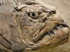 Xiphactinus, Cretaceous bony fish ...... Wow he's not a good looking chap!