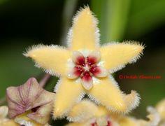 "Wax-Flower: Hoya buotii / Hoya halconensis [Family: Apocyanaceae]; Photographer: Kitisak ""Nat"" Jaidee"