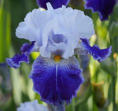 Growing irises are our family hobby. We carry over 50 varieties of bearded iris (mostly tall) including space age iris, reblooming iris, scented iris and a few very special medians. This is not a huge amount of varieties but we grow them with love and we can guaranty the quality and size of each rhizome. | eBay!