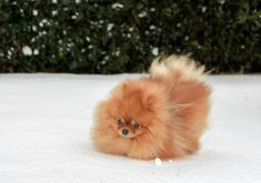 Red pom taking a walk in the snow!