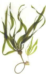BC Kelp and seaweed products and how to use. Botanical Art, Botanical Illustration, Medusa, Zentangle, Underwater Plants, Kelp Forest, Sea Plants, Web Design, Lily Pond