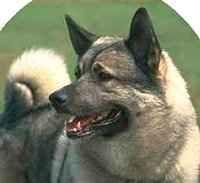 Norwegian Elkhound personality