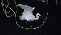 Little Egret, taken at Pinglin, Taipei County, TAIWAN The Egret expanded its wings to keep his balance on a  American skinny twig, like an acrobat walking on a rope.