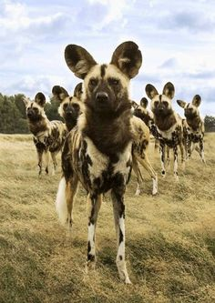 African wild dog or Painted dog. One of the rarest sightings on Safari…