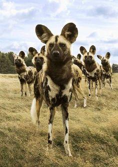 African wild dog or Painted dog. One of the rarest sightings on Safari.  www.FairTradeSafaris.com