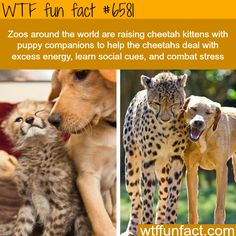 Cheetah kittens and dog puppy raised together - WTF fun facts