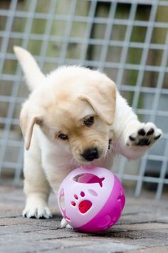 ♥ too cute :)) just me cute dogs, dogs ve puppies. Cute Little Puppies, Cute Dogs And Puppies, Baby Dogs, Doggies, Cute Animal Videos, Cute Animal Pictures, Puppy Pictures, Dog Photos, Labrador Bebe