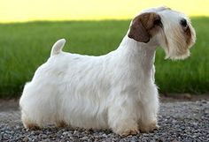 Sealyham Terrier, very suitable as a family dog.