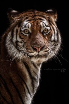 Tiger by Michaela Pucher on 500px