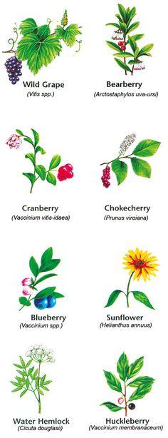 Thoreau's Wild Edible Fruits