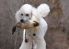 Standard Poodle this explains oreos fascination with retrieving soft toys :)