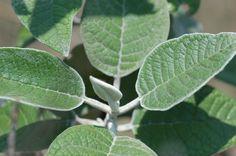 Hojas de Tepozán (Buddleia cordata)