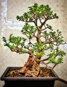 Growing bonsai from their seeds is essentially growing a tree from its seed. Get tips and guidelines on how to grow your first bonsai from its seed phase. Jade Plant Bonsai, Succulent Bonsai, Jade Plants, Bonsai Plants, Bonsai Garden, Bonsai Pruning, Succulent Wall, Succulents Garden, Cactus Plants