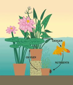 Natural Pond Balance Eco-System Formula - 5 elements: Oxygenating Grasses, Water Lilies, Pond Fish, Water Snails, Bog Plants of Small aquatic plants