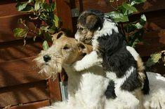 photos de fox terriers