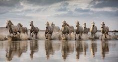 White Camargue horses running through the water by scott stulberg on 500px