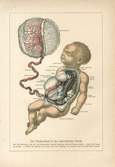 """1890 HUMAN EMBRYO BABY ANATOMY Antique Lithograph Print J.Ranke.  Original old German colour lithograph print/book plate(not a modern reproduction) from    """"DER MENSCH"""" by Prof.Dr.J.Ranke.     The print has been printed by Bibliographisches Institut Leipzig,Germany in 1890.     Very decorative.It looks great when framed.     The overall size of this print with margins approx 10"""" x 7""""."""