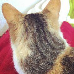 眠れなくて 少し寝てみたけど 身体がまだ痛いしだるさが酷い  自分でドア開けてきて そばに居てくれるのは 君だけだね  #ねこ #ねこ部 #ねこら部 #ねこもふ団 #ネコ #猫 #三毛猫 #にゃんこ by roroxi