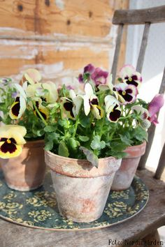 #shabby #terracotta pots filled with #pansies