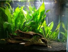 Java fern (Microsorum pteropus) is one of my personal favorite aquarium plants for many reasons! It's very easy to grow, doesn't need Co2, strong lighting, substrate or extra fertilizers and it's one of the only plants that works with plant eating fish like fancy goldfish. Keep reading for more information about Java fern care and how to grow this wonderful plant. Planting The way Java fern should be planted is a bit different from what most aquarists are used to. It can grow quite tall, up…