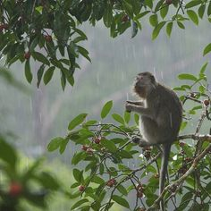 Photo by @TimLaman. Theres a reason they call it a rain forest!  A long-tailed macaque feeding on wild figs high in the canopy at #GunungPalung National Park during the rain.  I like photographing rain forest wildlife in the rain but you have to be ready for it.  #monkey @saveGPorangutans #rainforest #Borneo @thephotosociety @natgeocreative.  See more of my work and the biodiversity of Borneo @TimLaman by natgeotravel