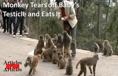 Monkey Tears off Baby's Testicle and Eats It