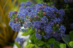 Ceanothus Puget Blue produces deep blue flowers which smother branches of this evergreen shrub during spring. Ideal in borders or against a wall. Plant in full sun in a sheltered position, in well-drained soil. Lilac Plant, Blue Plants, Evergreen Shrubs, Trees And Shrubs, California Lilac, Shrubs For Sale, Plant Nursery, Plant Sale, Garden Plants