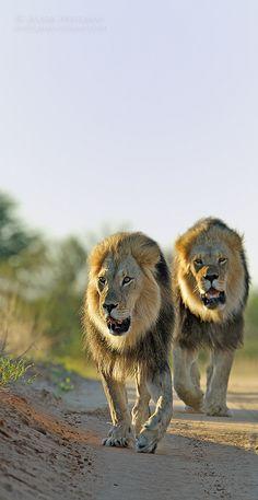 Kgalagadi Lion Brothers -  Botswana