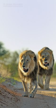 "Kgalagadi Lion Brothers: ""Out  Together For A Boys Day's Outing.""   (Photographed in Botswana.)"