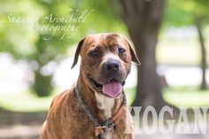 Hogan is very very calm and laid back. He is great with other dogs and children and yes he is housebroken. He has a wonderful disposition he is located in Macon Georgia email allaboutanimalsmacon@yahoo.com