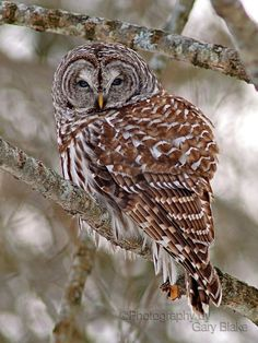 Barred Owl, My favorite owl ever, my dad has Barred owls that live in his yard!