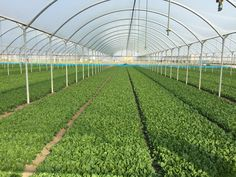 organic spinach greenhouse cultivation