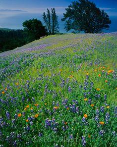 Lupin, Poppies, Bolinas Ridge, Mount Tamalpais State Park, Golden Gate National Recreation Area, Marin County, California