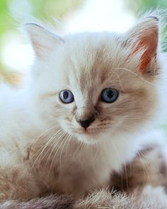 """""""Kittens carry tickles on their whiskers."""" --Anonymous"""