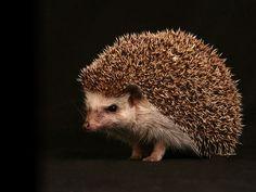 Serious hedgehog... (via http://www.wuestenigel.com/2011/07/18/ernster-igel/)