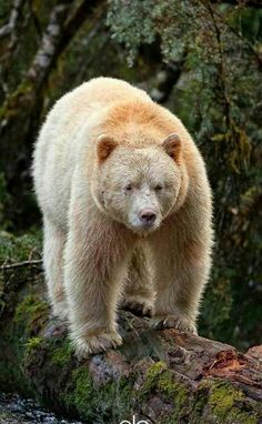 Beautiful Grizzly Bear