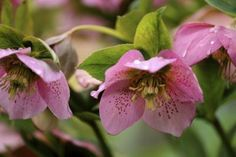 How to Care for a Hellebore Plant (5 Steps)