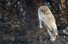 Albino Great Grey Owl by ignazw on Flickr.