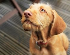 Everything you should know about the Wirehaired Vizsla. The Wirehaired Vizsla is an agile, athletic hunting dog, which originated in Hungary. Vizsla Puppies, Cute Puppies, Dogs And Puppies, Vizsla Dog, Wirehaired Vizsla, American Wirehair, Dog Stock Photo, Hungarian Vizsla, Training Your Dog