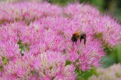 Mehiläinen, Kukka, Siitepöly, Hyönteinen