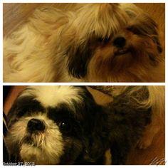 Luna & Pepper #shihtzu#dog #philippines #シーズー#犬#フィリピン